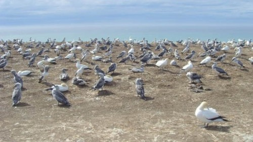 Up close and personal with the gannets of Cape Kidnappers